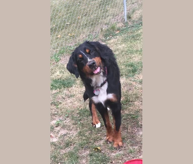 Photo of Violet, a Bernese Mountain Dog