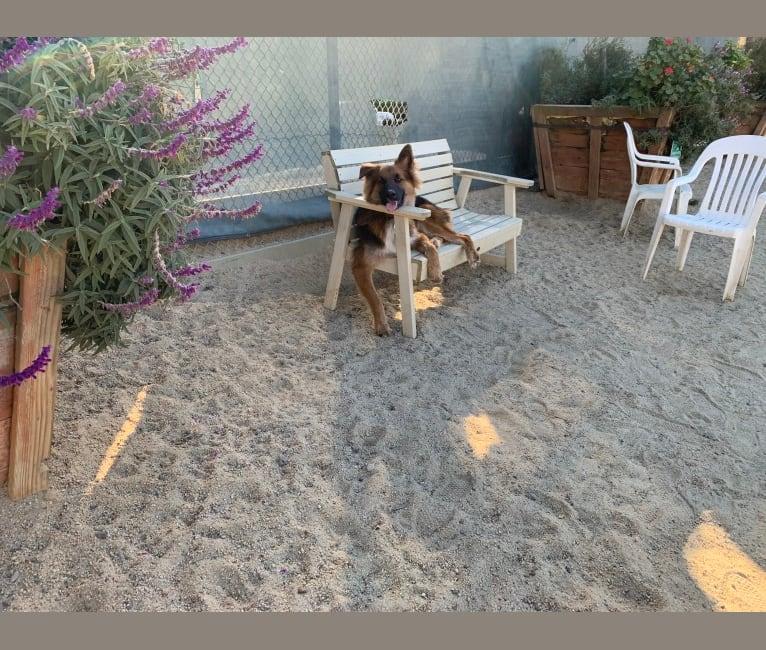 Photo of Lobo, a German Shepherd Dog, Siberian Husky, and Golden Retriever mix in California, USA