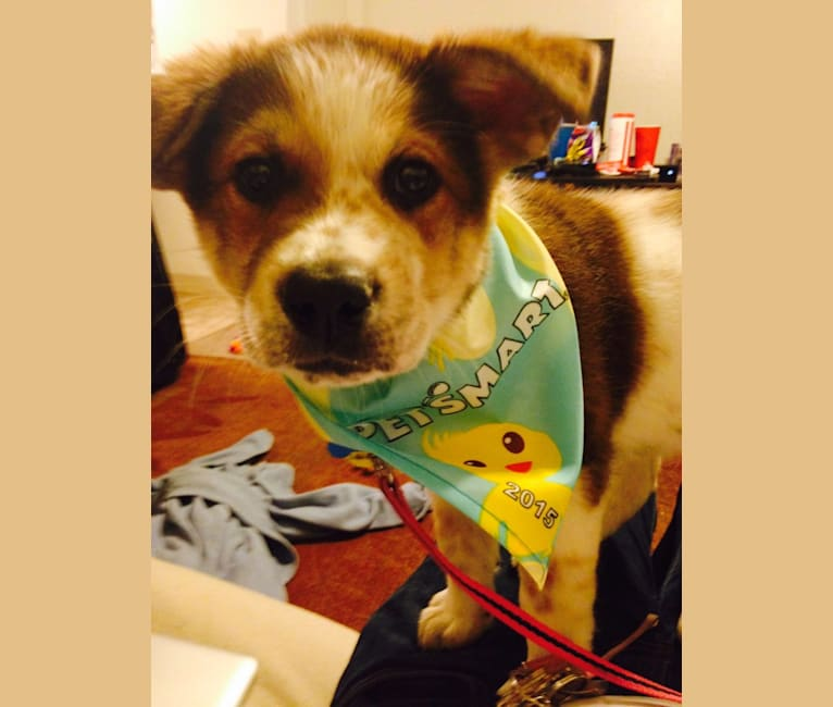 Photo of Emmy, an Akita, Chow Chow, Labrador Retriever, German Shepherd Dog, and American Pit Bull Terrier mix in Arizona, USA