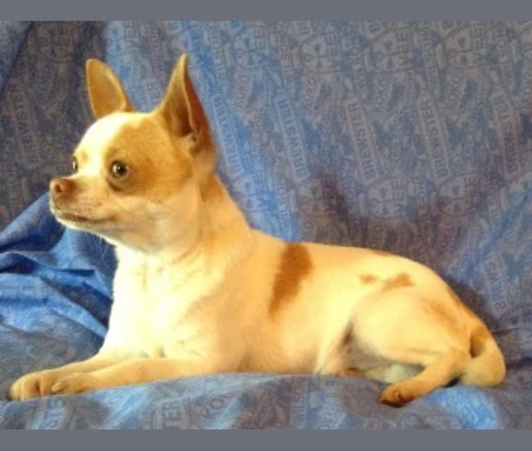 Photo of Biscuit, a Chihuahua