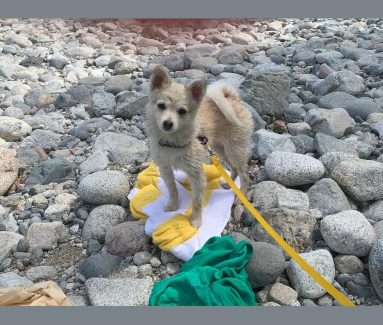 Photo of Lunita, a Pomeranian and Alaskan Klee Kai mix in Mission, British Columbia, Canada