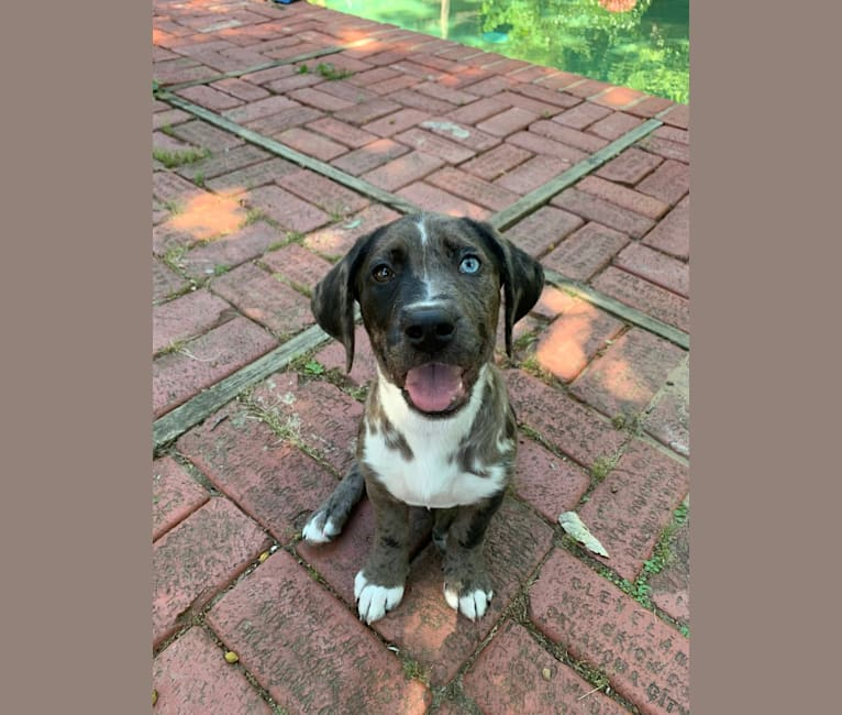 Photo of Domino, an American Pit Bull Terrier, Labrador Retriever, Beagle, American Staffordshire Terrier, Basset Hound, and Mixed mix in Tulsa, OK, USA