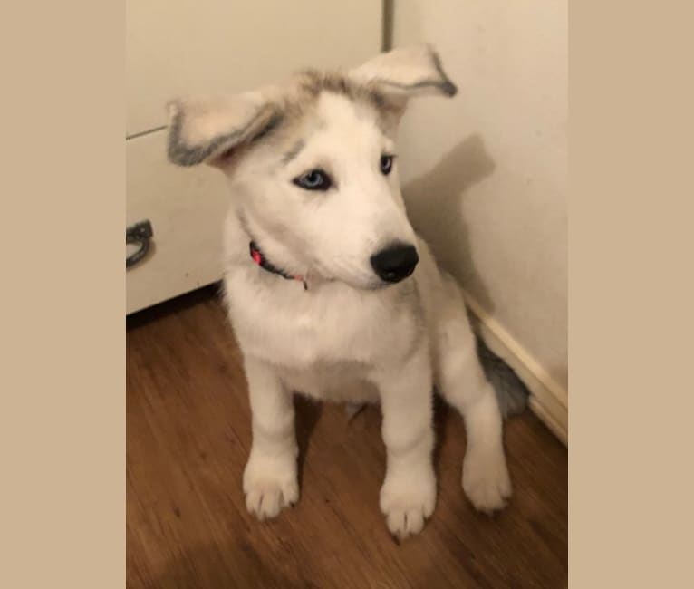 Photo of Mansfield, a Siberian Husky and Alaskan Malamute mix in Duncanville, Texas, USA