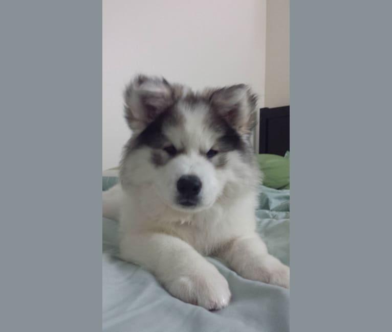 Photo of Crazy Loki, a Siberian Husky, Chow Chow, Akita, German Shepherd Dog, and Mixed mix in Los Angeles, California, USA