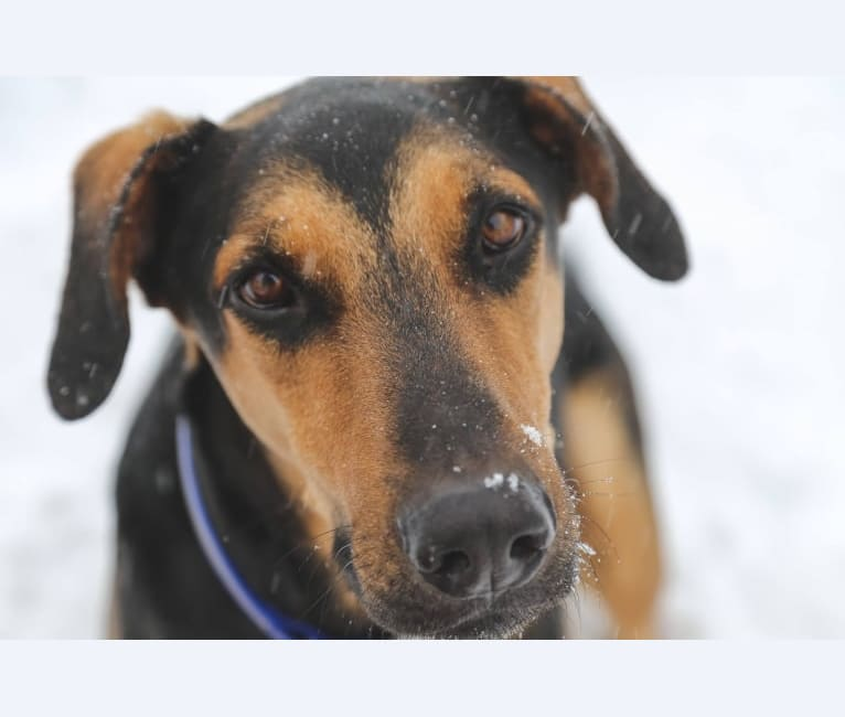 Photo of Simon, a Doberman Pinscher and German Shepherd Dog mix in Texas, USA