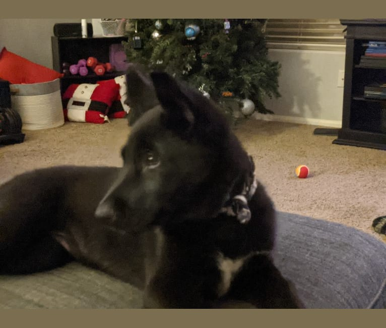 Photo of Samus, a German Shepherd Dog, Siberian Husky, and Mixed mix in Las Vegas, Nevada, USA