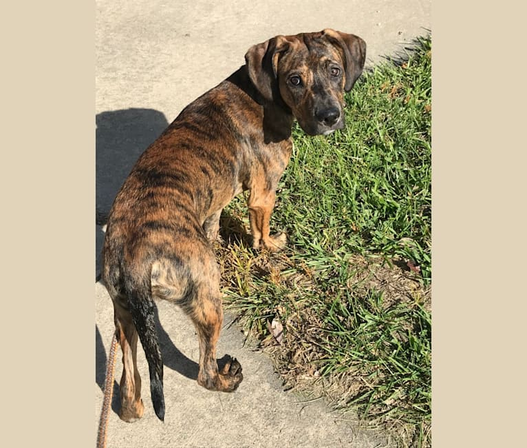 Photo of Puck, an American Pit Bull Terrier, Boxer, Golden Retriever, and Great Pyrenees mix in Warsaw, Missouri, USA