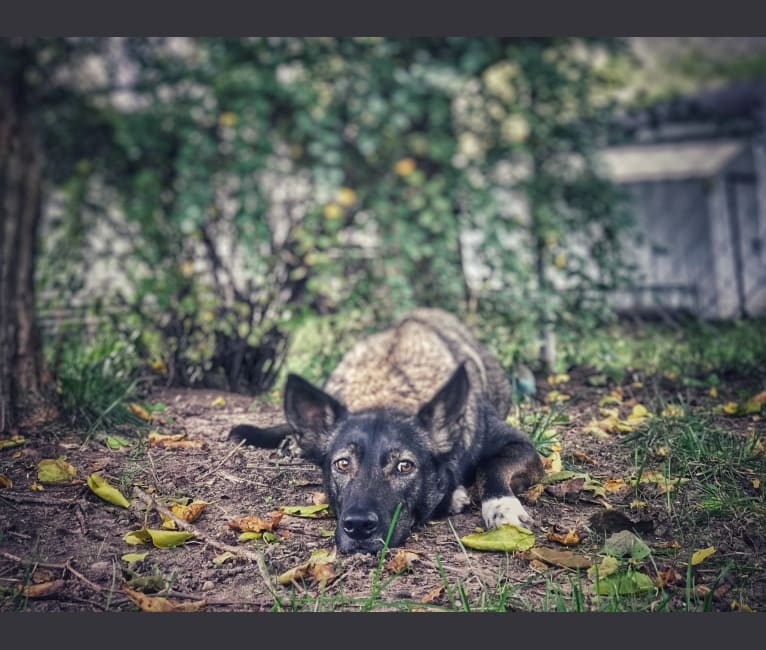 Photo of Rex, an Australian Shepherd, American Pit Bull Terrier, Siberian Husky, Border Collie, German Shepherd Dog, and Mixed mix in Grand Rapids, Michigan, USA