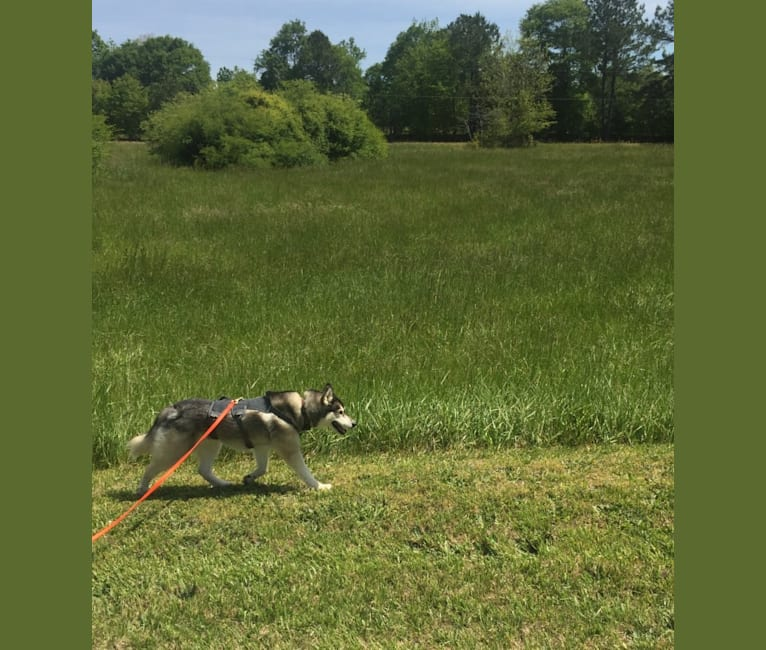 Photo of Flower, a Siberian Husky  in Colbert, Georgia, USA