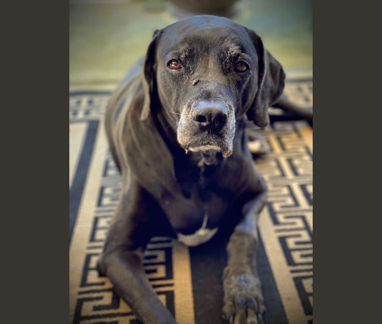 Photo of Molly, a Boxer and Weimaraner mix in Chalmette, Louisiana, USA