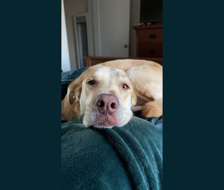 Photo of Kona, a Labrador Retriever, American Bulldog, Australian Shepherd, Golden Retriever, Great Pyrenees, Boxer, and Siberian Husky mix in San Diego, California, USA