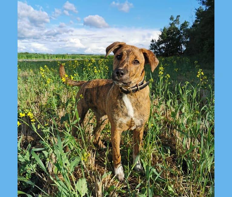 Photo of Boston, an American Pit Bull Terrier, Saint Bernard, Australian Cattle Dog, Pug, and Redbone Coonhound mix in Edmonton, Alberta, Canada