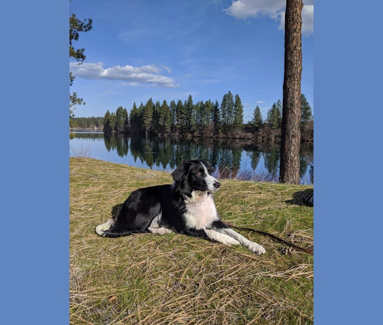 Photo of Milo, a Border Collie, McNab, and Shetland Sheepdog mix in Spokane, Washington, USA