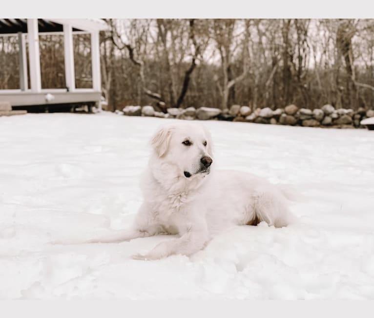 Photo of Elsa, a Great Pyrenees  in Aquinnah, Massachusetts, USA