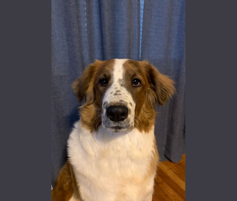 Photo of Socrates, a Great Pyrenees, American Pit Bull Terrier, Chow Chow, Australian Shepherd, and Australian Cattle Dog mix in Tulsa, Oklahoma, USA