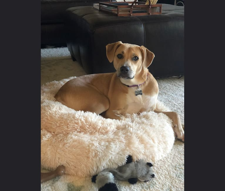 Photo of Buffy, an American Pit Bull Terrier, Rottweiler, Great Pyrenees, Labrador Retriever, Boxer, and Mixed mix