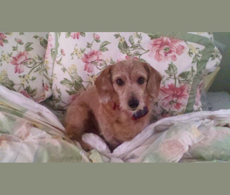 Photo of Buddy, a Poodle (Small), Dachshund, and Mixed mix in Germany
