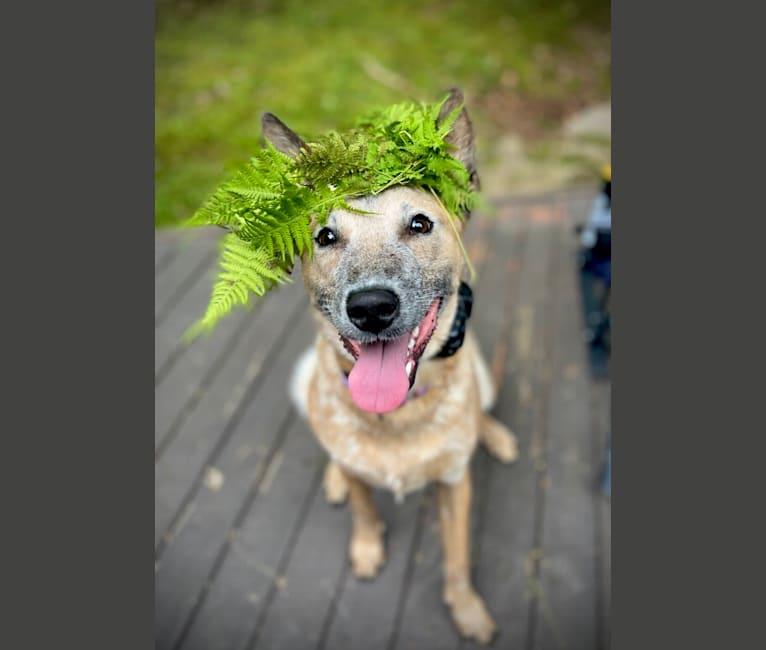 Photo of Murphy, an Australian Cattle Dog  in Ashburn, Virginia, USA