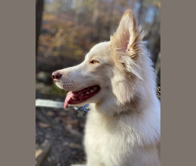Photo of Odie, a Siberian Husky, Australian Cattle Dog, and Great Pyrenees mix in West Virginia, USA