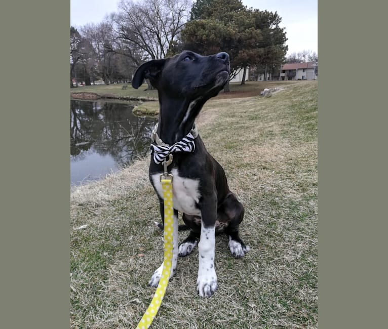 Photo of Oakley, an American Pit Bull Terrier, Great Pyrenees, Mountain Cur, Treeing Walker Coonhound, and Mixed mix in Jefferson, WI, USA