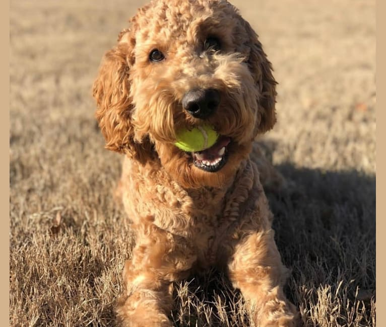 Photo of Dexter, a Goldendoodle  in Missouri, USA