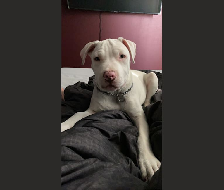 Photo of Daryl, an American Pit Bull Terrier and American Staffordshire Terrier mix in Bismarck, ND, USA