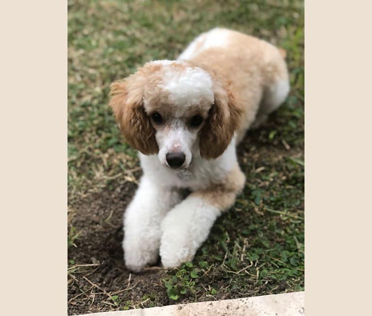 Photo of Luna, a Poodle  in Idaho Falls, ID, USA