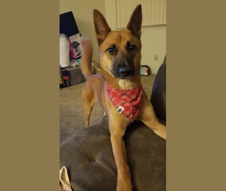 Photo of Rae, a Siberian Husky, Belgian Malinois, German Shepherd Dog, and Mixed mix in null