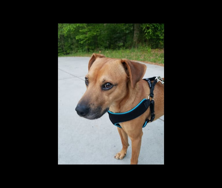 Photo of Jake, an American Pit Bull Terrier, Chow Chow, Beagle, and Mixed mix in Gastonia, North Carolina, USA