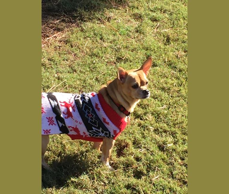Photo of Bixby, a Chihuahua, Cocker Spaniel, Shih Tzu, and Mixed mix in Charlotte, North Carolina, USA