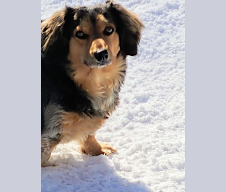 Photo of Buddy, a Dachshund, Beagle, Lhasa Apso, and Mixed mix in Arkansas, USA