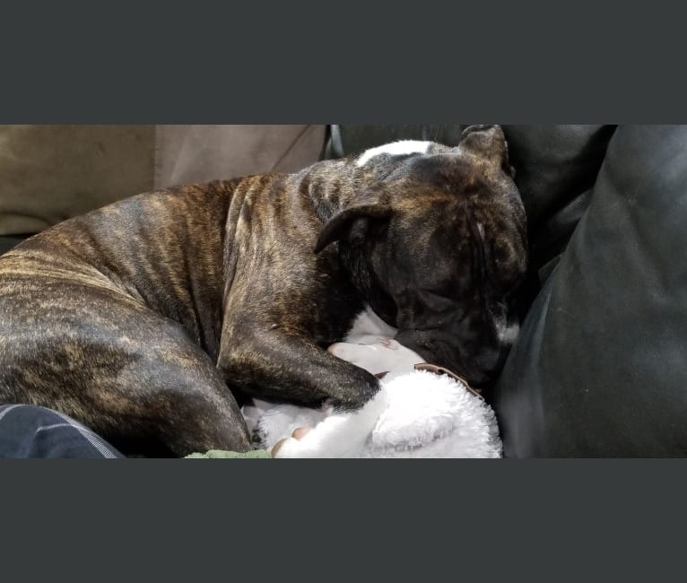 Photo of Chubs, an American Bulldog  in Kawartha Lakes, Ontario, Canada