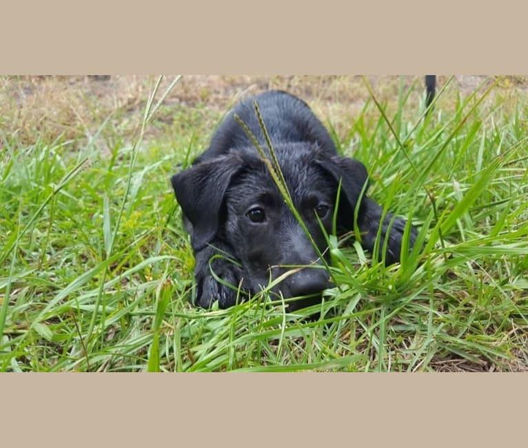 Photo of Kaida, a Labrador Retriever and Australian Shepherd mix in Jacksonville, North Carolina, USA