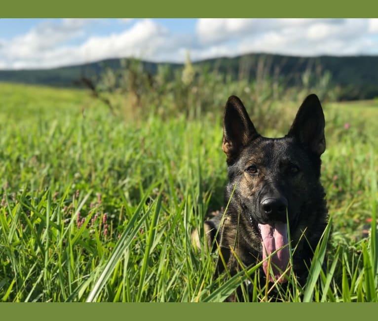 Photo of K9 Davos, a German Shepherd Dog  in New York, USA