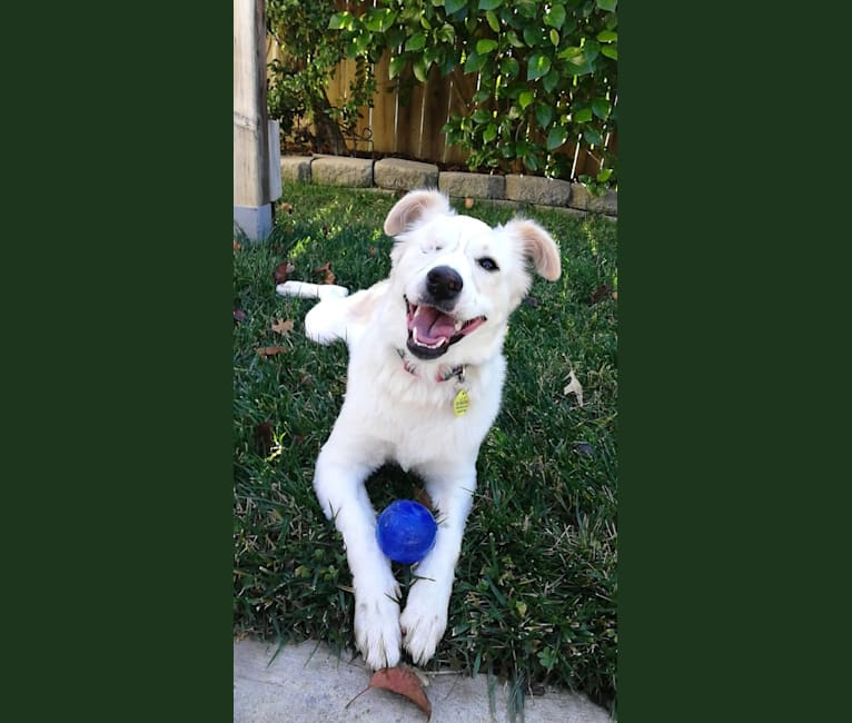 Photo of Cosmo, a Chihuahua, Australian Cattle Dog, Poodle (Small), Chinese Shar-Pei, Rat Terrier, and Mixed mix in Fresno, California, USA