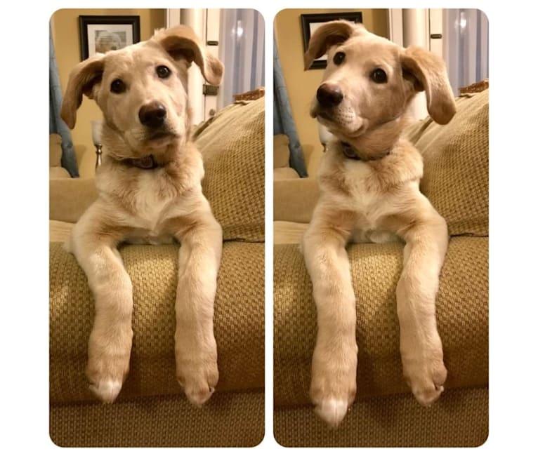 Photo of Josie, a Labrador Retriever, German Shepherd Dog, and Golden Retriever mix in Kentucky, USA