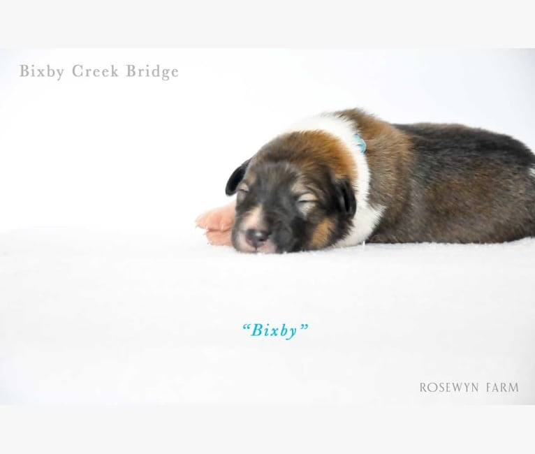 Photo of Bixby, a Collie (Scottish-Type)  in Cecilia, KY, USA