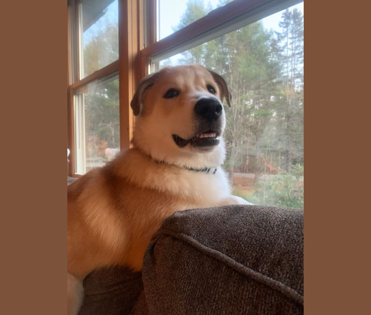 Photo of Bear, a Great Pyrenees, Anatolian Shepherd Dog, and Labrador Retriever mix in Georgia, USA