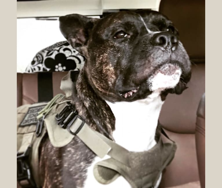 Photo of Snoopy, an American Bully  in Raleigh, North Carolina, USA