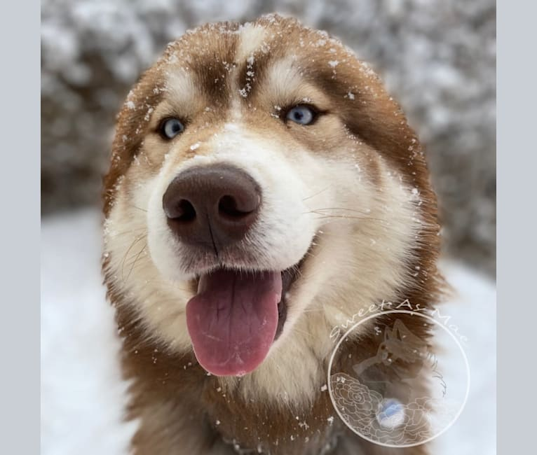 Photo of Emy, a Siberian Husky  in Plymouth, UT, USA