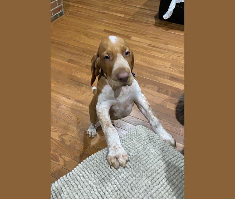 Photo of Archie, a Bracco Italiano  in Hamilton, OH, USA