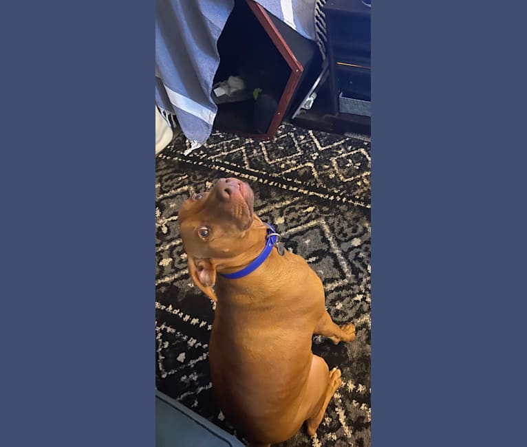 Photo of Cooper, a Doberman Pinscher, Boxer, and Mixed mix in San Jose, CA, USA
