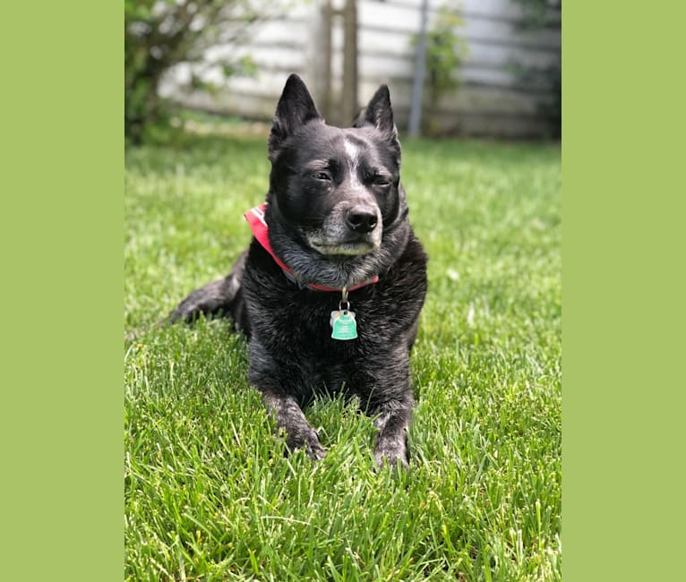 Photo of Ozzie, an Australian Cattle Dog  in West Virginia, USA