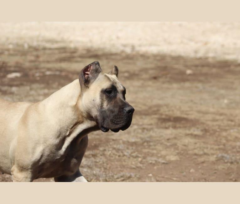 Photo of Vendi, a Perro de Presa Canario  in Topeka, KS, USA