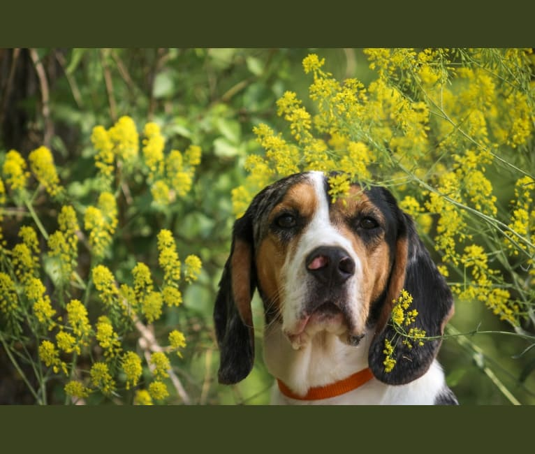 Photo of Renegade, an American English Coonhound, Cocker Spaniel, Black and Tan Coonhound, and Plott mix in Stuarts Draft, Virginia, USA