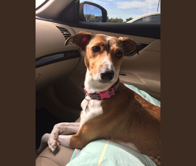 Photo of Maci, an Italian Greyhound and Australian Shepherd mix in Arkansas, USA