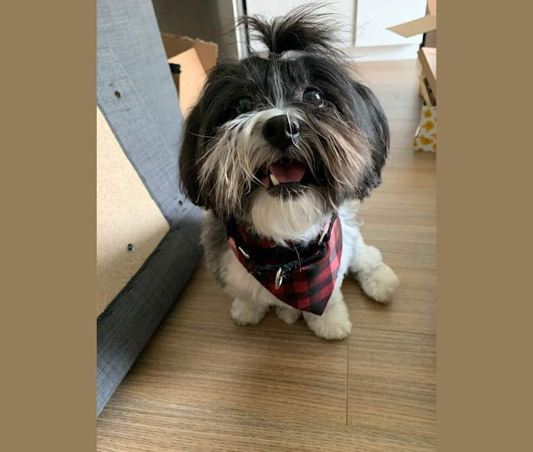 Photo of Boba, a Shih Tzu, Poodle (Small), and Bichon Frise mix in New York, New York, USA