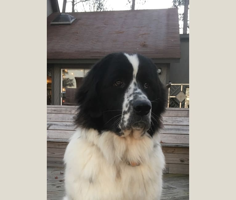 Photo of Osa Stott, a Newfoundland and Great Pyrenees mix in Georgia, USA