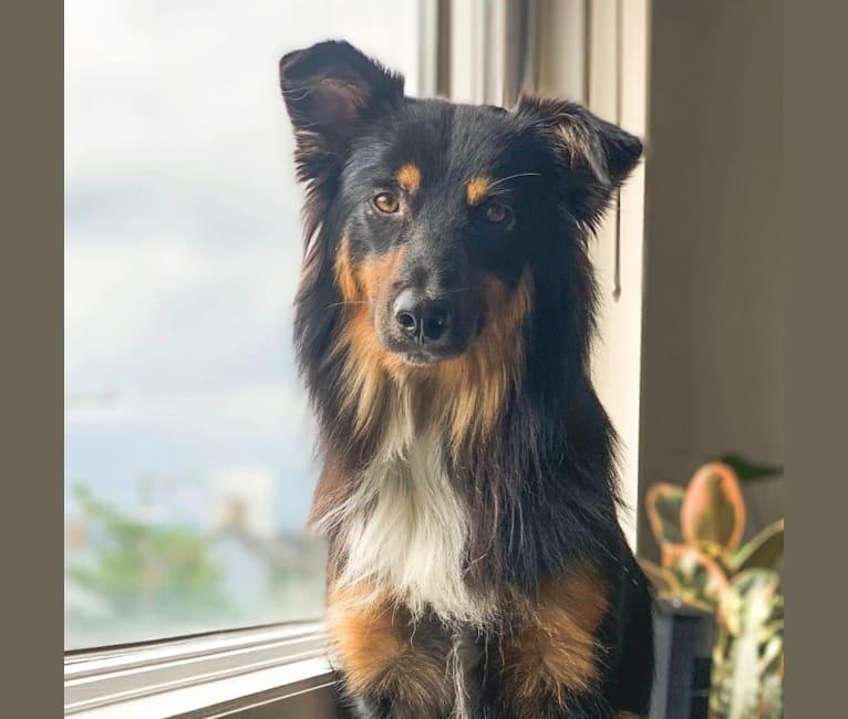 Photo of Kahvi, an Australian Shepherd Group  in Tennessee, USA