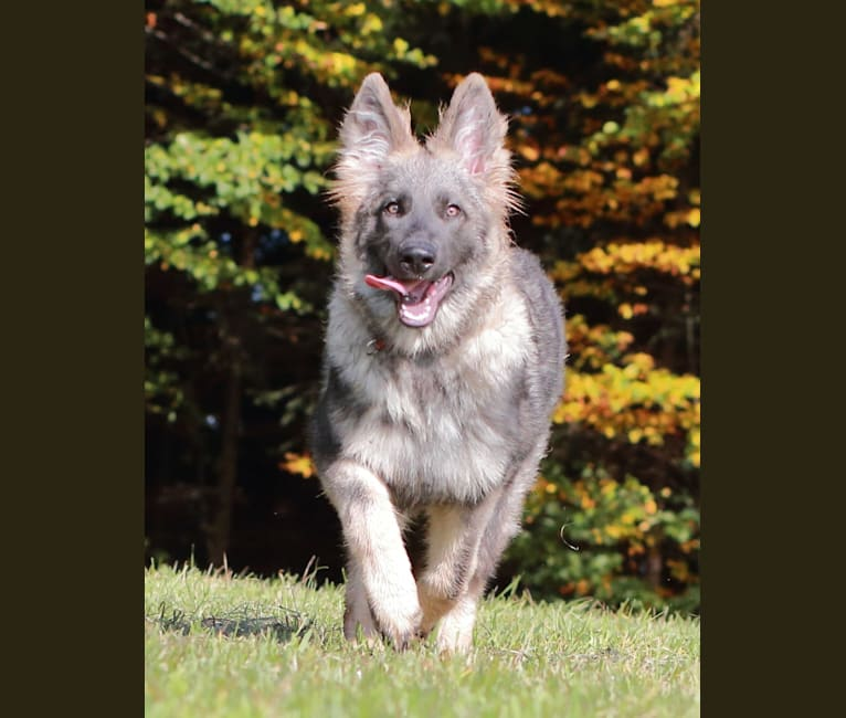 "Photo of ""Hidayah"" Wild Ice Hidayah Fenris Fangs, a German Shepherd Dog  in 7242 MR Lochem, Netherlands"
